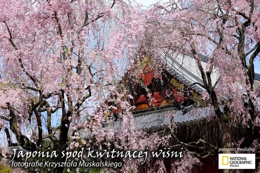 Krzysztof Muskalski - Japonia spod kwitnącej wiśni